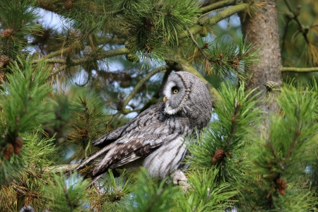 Great Gray Owl Stock Photo - 16018388