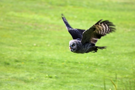 flying Great Gray Owl Stock Photo - 16018266