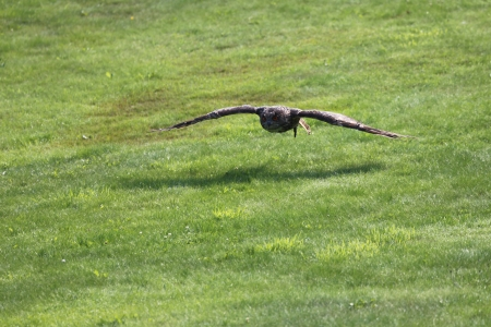 wise old owl: Eagle Owl flying over a green field Stock Photo