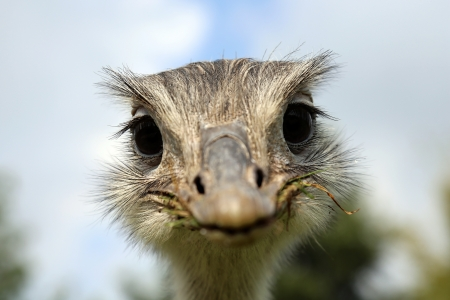 pennata: funny looking common rhea Stock Photo