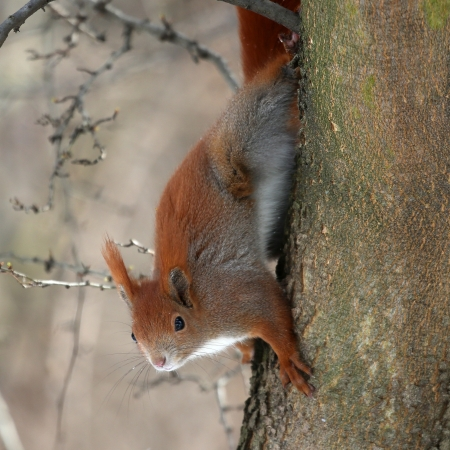 red fox: squirrel Stock Photo
