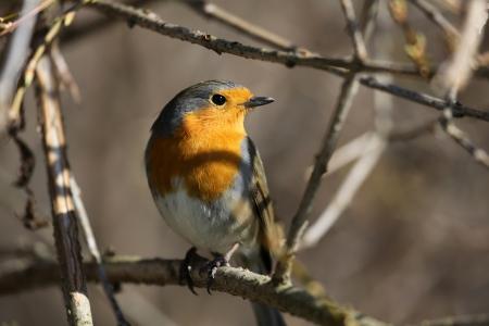 redbreast: red european robin