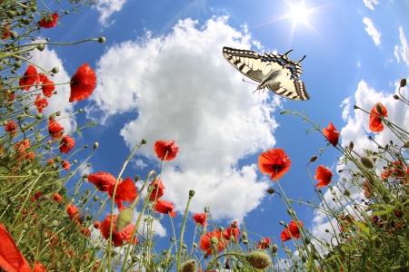 corn flower: Butterflies at springtime