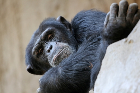 Portrait chimpanz� photo
