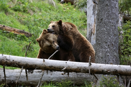 Brown Bears Fighting photo