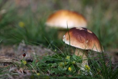 porcini: Mushroom, Porcini