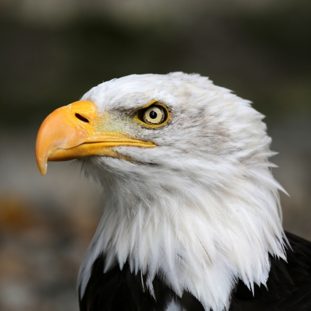 black beak: American bald eagle  Stock Photo