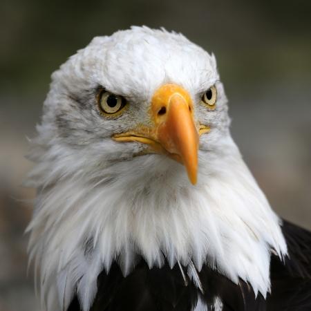 미국의 대머리 독수리