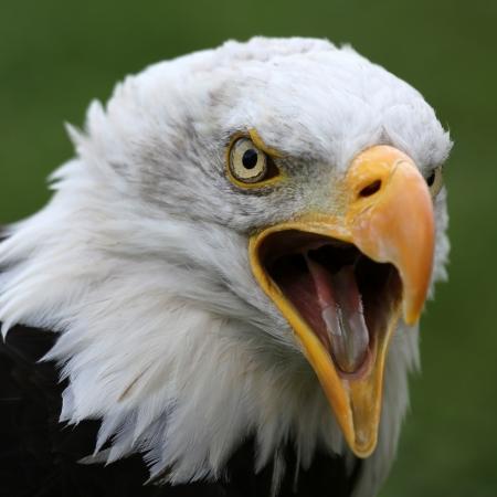 미국의 대머리 독수리 스톡 콘텐츠 - 22843288