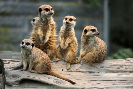 Family of Meerkats Stock Photo