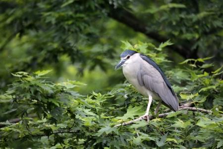 grey heron: Black-crowned Night Heron