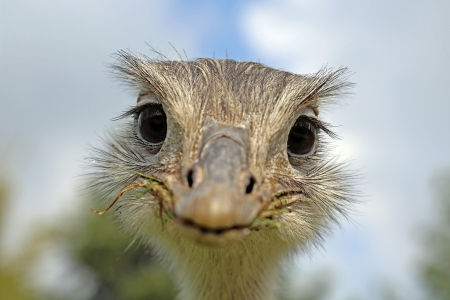 rhea: funny looking common rhea Stock Photo