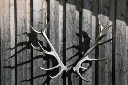 elk point: deer antler