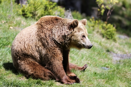 wet bear: Brown bear