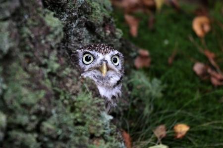 funny animals: little owl  Stock Photo
