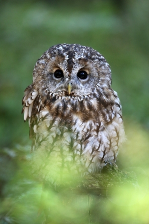 tawny owl  photo