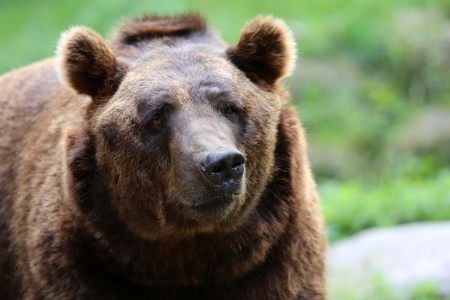 Kodiak bear Stock Photo - 22942173