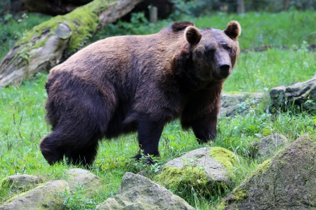 Kodiak bear photo