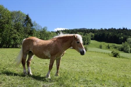 Haflinger horses at the Alps  photo