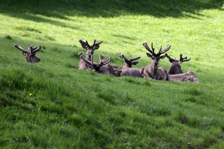 herd deer: Deer herd