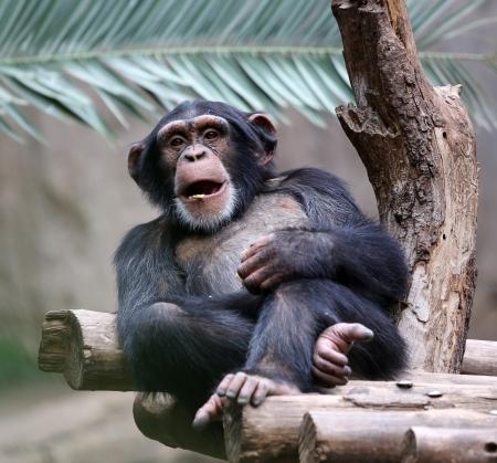 지사에서 휴식하는 침팬지