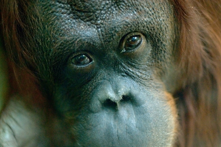 utang: close up of an Orang Utang face