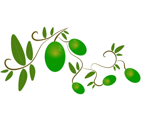 picking fruit: olives on white background