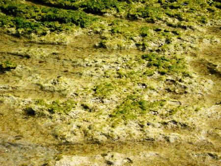 algas marinas: algas Foto de archivo