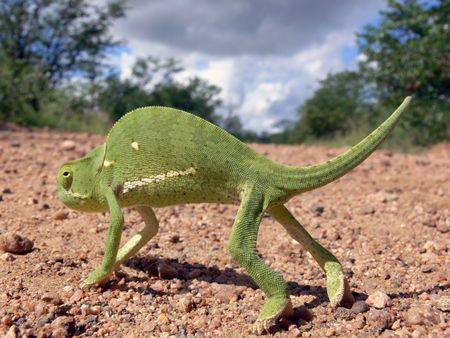 close up of chameleon who walking acroos the  road