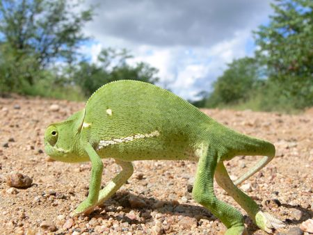 mimetism: close up of chameleon who walking acroos the  road