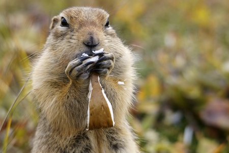 Close up of ground squirrel while eating mushrooms photo