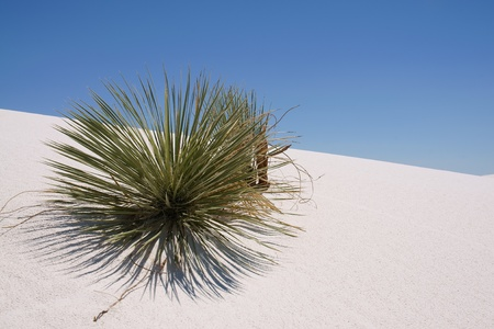 Plant on a sand dune in white sands national monument New Mexico, USA photo