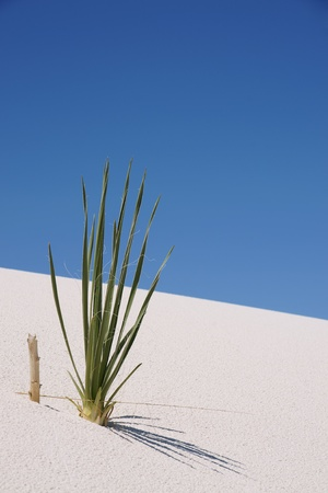 national plant: Plant on a sand dune in white sands national monument New Mexico, USA