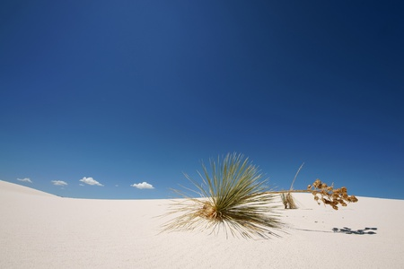 Plant on a sand dune in white sands national monument New Mexico, USA Stock Photo - 12458183