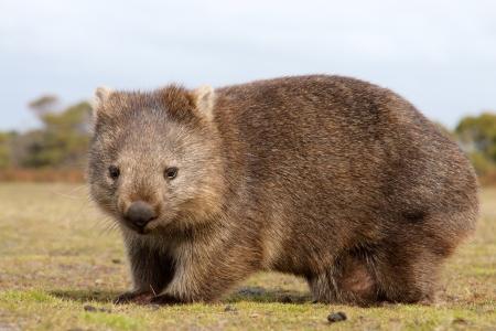 marsupial: Close up of wombat in Narawntapu national park, Australia