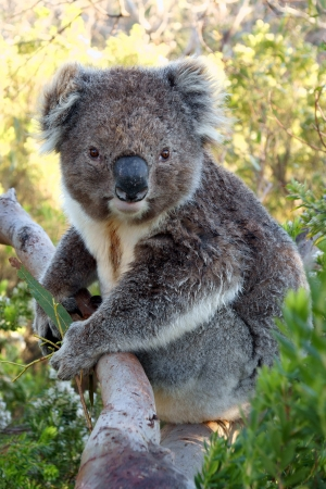 Close up of koala while is keeping a eucalyptus leaf photo