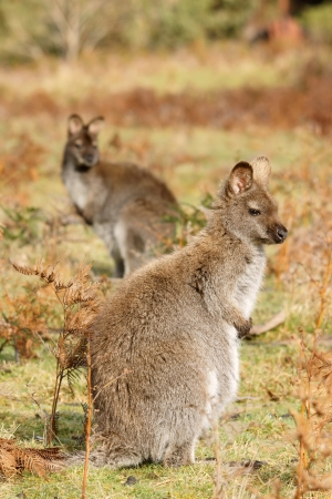 Two wallabies are stand up, Burny island, Australia photo