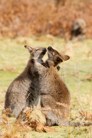 Two wallabies are playing together, Burny island, Australia photo