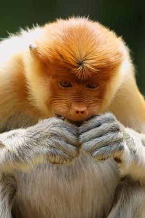 sandakan: Close up of proboscis monkey in Malaysia