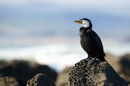 faced: A yellow faced cormorant on rock in New Zealand