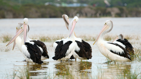 Family of Pelicans on Fitzegerald National Parck lagoon, Western Australia