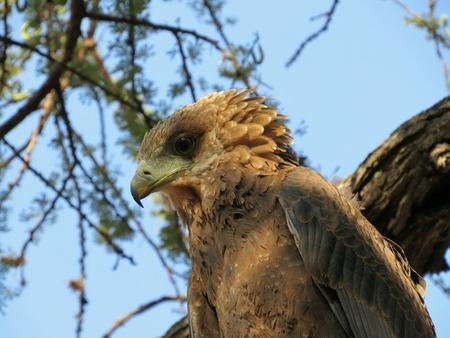 Eagle in Kenya safari park