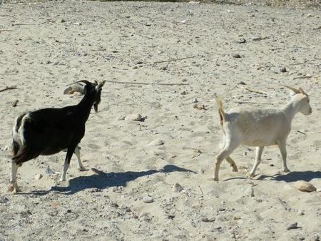 Greek goats in a rhodos beach