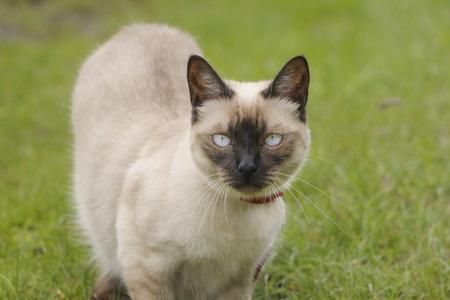 Siamese cat in a field