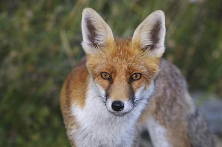 portrait of a wild fox photo