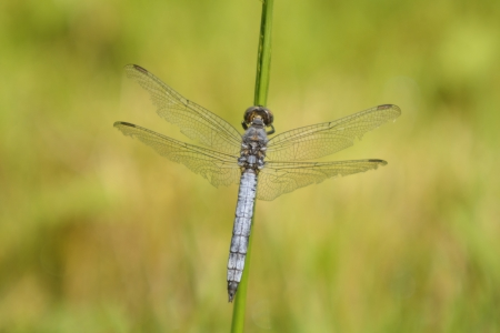 chaser: Broad-bodied Chaser  Libellula depressa  male