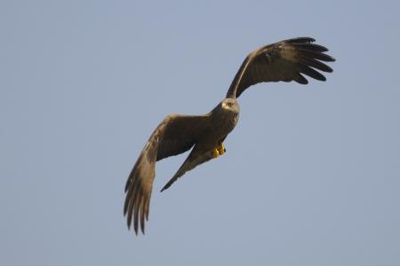 milvus: A Black Kite  Milvus migrans  in flight