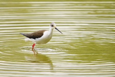 charadriiformes: A black-winged stilt in water , himantopus himantopus