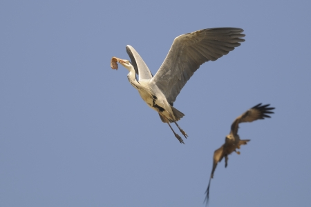 ardea cinerea: Grey heron ( Ardea Cinerea ) in flight
