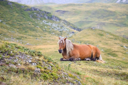 brown horse: Brown horse in a meadow - Equus caballus Stock Photo